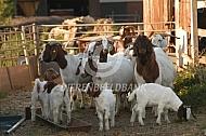 Boergeiten met lammeren
