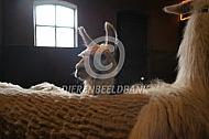 Lama op stal (Lama glama)