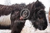 Oude pony met huidontsteking en luizen