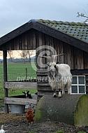 Nederlandse landgeiten bok voor de stal