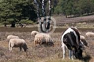 Heidekoetje met heideschapen
