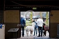 Wachten voor de alpacashow