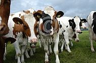 Holstein friesian jongvee
