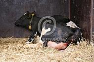 Geboorte kalf bij een koe