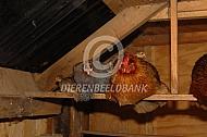 Kip en parelhoen en kuikens op stok