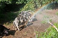 Kunekune varken onder de douche