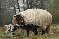 Drentse heideschaap met lammeren