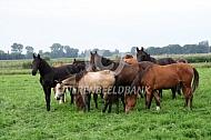Kudde paarden in de wei
