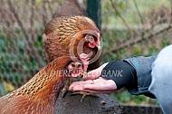 Welsumer kippen eten uit je hand