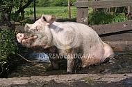 Varken neemt een modderbad