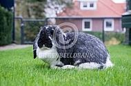 Meissner hangoor konijn (bont)
