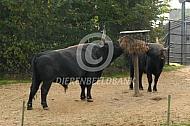 Heckrund stier bij hooiruif