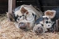 Hobbyvarkens in het stro