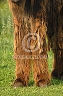 Poten van een Poitou ezel