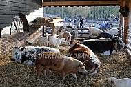 Varkens op de kinderboerderij