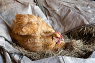 Kip legt een ei