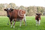 Fries roodbont vee met kalf