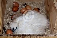 Broedse zijdehoen