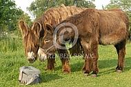 Nieuwsgierige Poitou ezels