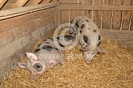 Piëtrain varkens in het stro
