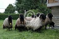 Karakul schapen