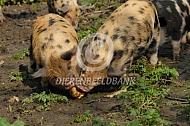 Biggen Kunekune eten appel