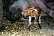 Scharrelvarken zeug met big