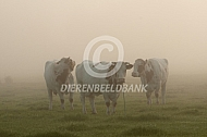 Maas- Rijn en IJsselvee in de mist