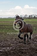 Zwaar warmbloed paard