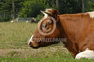 Roodbonte Holstein friesians