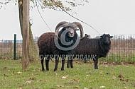 Ouessant schapen ram en ooi