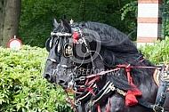 Friese paarden voor de Gala Glas Berline