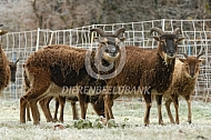 Soay schapen in een winters landschap