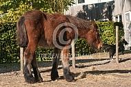 Trekpaard veulen
