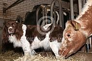 Koeien met een hond op stal