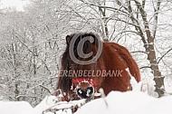 Shetlander in de sneeuw