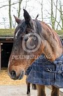 Paard van 37 jaar