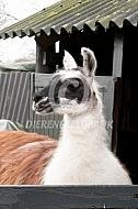 Lama voor haar stal