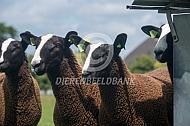 Twee zwartbles schapen