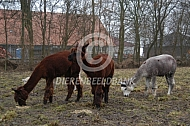 Alpaca in de wei