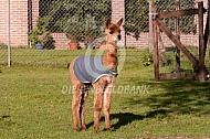 Alpaca veulen (cria) met jasje