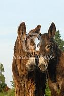 Twee Poitou ezels
