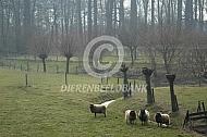 Shetlander schapen in de wei