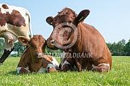Pinzgauer koe met kalf