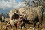 Kempens heideschaap met net geboren lam