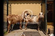 Twee oude nubische geiten