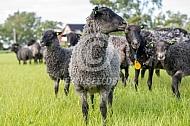 Gotland Pels schaap (lam)