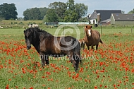 IJslands paarden tussen de klaprozen
