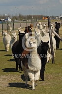Rennende alpaca's
