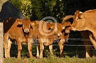 Limousin kalveren